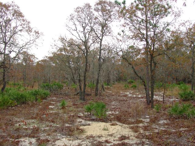 Figure 9. Upland turkey oak (Quercus laevis) barren sandhill habitat is also excellent habitat for Florida pinesnakes. When prescribed fire is used to manage oak-dominated sandhills they eventually revert back to pine-dominated systems and remain very suitable for Florida pinesnakes.