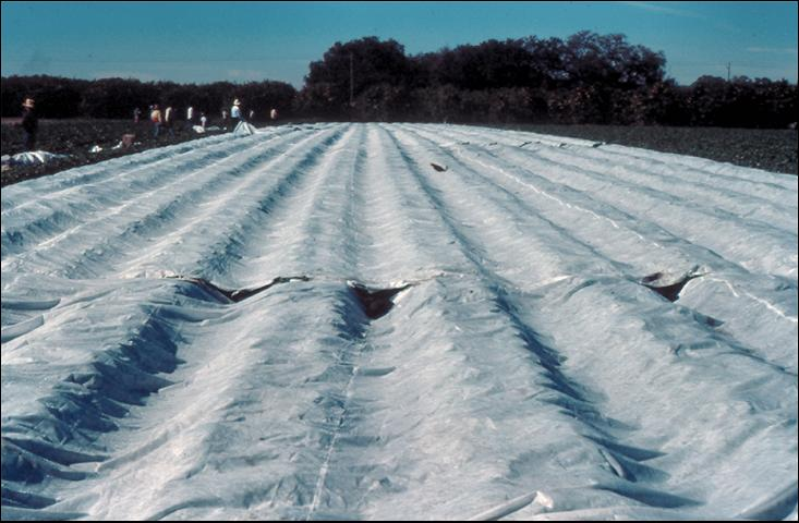 Figure 13.Multi-row floating row cover for frost protection of strawberries.