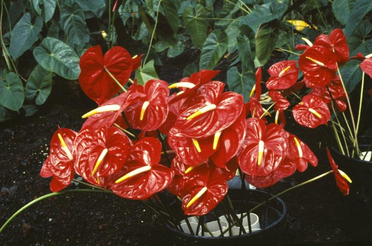 Figure 1. Anthurium 'Kozohara' used in cut-flower production.