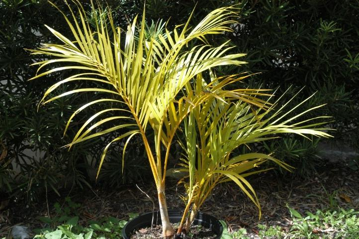Figure 1. Nitrogen-deficient container-grown Dypsis lutescens (areca palm) showing typical discolored leaflets and golden petioles and leaf bases.