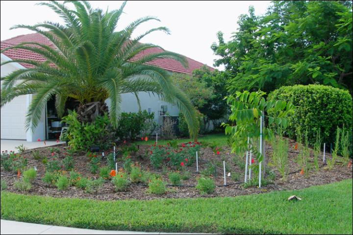 Figure 4.After Florida-Friendly landscape renovation – June 2009. A Canary Island date palm has been retained in the landscape, and the sod area has been reduced to make room for a large bed with a variety of plants, including seaside goldenrod, pentas, blackeyed susan, gaillardia, and coontie. The diverse plantings are visually appealing and also attract birds and butterflies. The white markers indicate the location of underground utilities in the new bed.