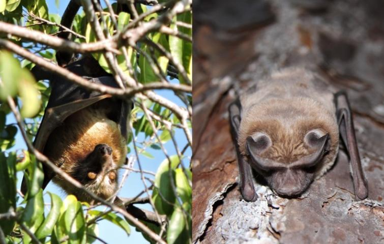 Figure 2. Bats make valuable contributions to natural ecosystems and people. Some, such as the Sulawesi flying fox (Acerodon celebensis, left), pollinate plants, producing many of the fruits we eat. Others, such as the Florida bonneted bat (Eumops floridanus, right), eat insects we consider pests.