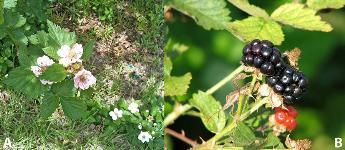 ENY-881/IN1060: Flower Thrips in Blackberries in Florida