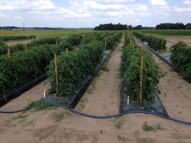 Figure 1.Plantas de tomate en el campo del Centro de Investigación y Educación (UF/IFAS) en Citra, Florida, sujetos a diferentes regímenes de riego y fertilización