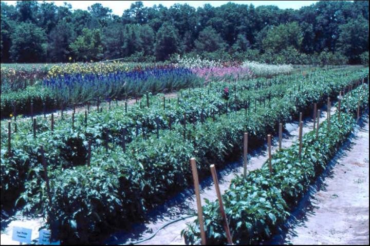 Figure 12.Tomato production in outdoor soilless culture.