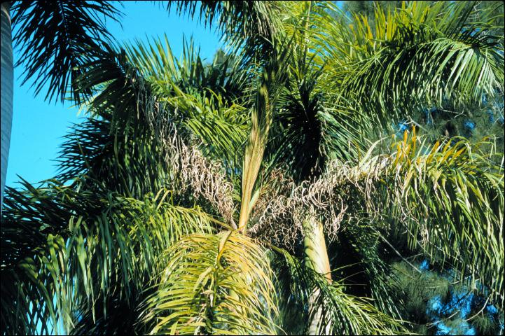 Figure 4. Manganese deficiency on Roystonea regia (Cuban royal palm).