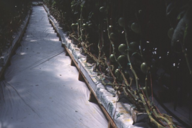 Figure 28.These tomatoes have been leaned and lowered following leaf removal.
