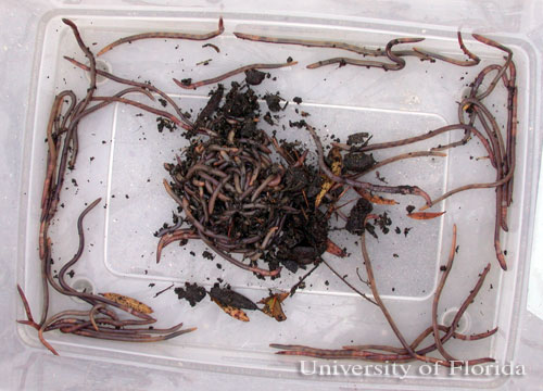 Figure 1. Earthworms collected from a parking lot following a heavy rainfall.