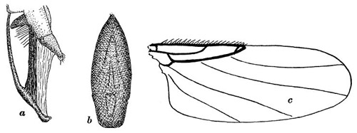 Figure 5. Sketch of Apocephalus borealis features in the first specimen description of an adult female: a) lateral (side) view of the female's ovipositor, b) ventral (underside) view of the female's ovipositor, c) dorsal (top) view of the right wing.