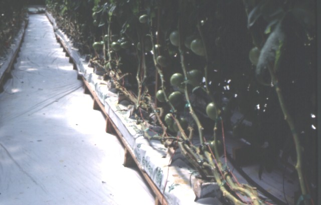 Figure 4.Greenhouse tomatoes, grown from high-quality transplants, ready for harvest.