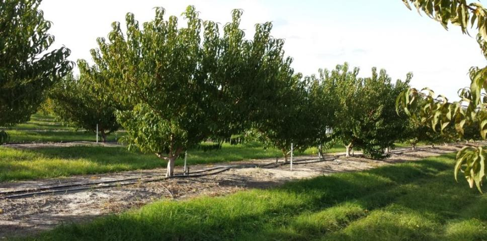 Figure 1.Peach trees in a commercial orchard in central Florida.