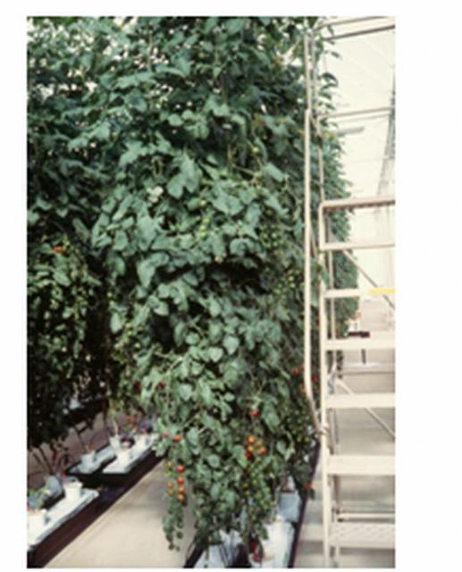 Figure 4.Rockwool hydroponic culture in a greenhouse in Lake Buena Vista, FL, 1998.