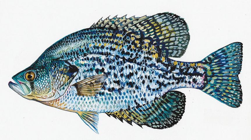 Figure 6.Black crappie, or speckled perch, compete with bass for food, eat small bass, and tend to overpopulate and become stunted in a pond.