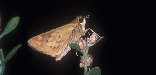 Figure 6.Female adult fiery skipper, Hylephila phyleus (Drury), perched.