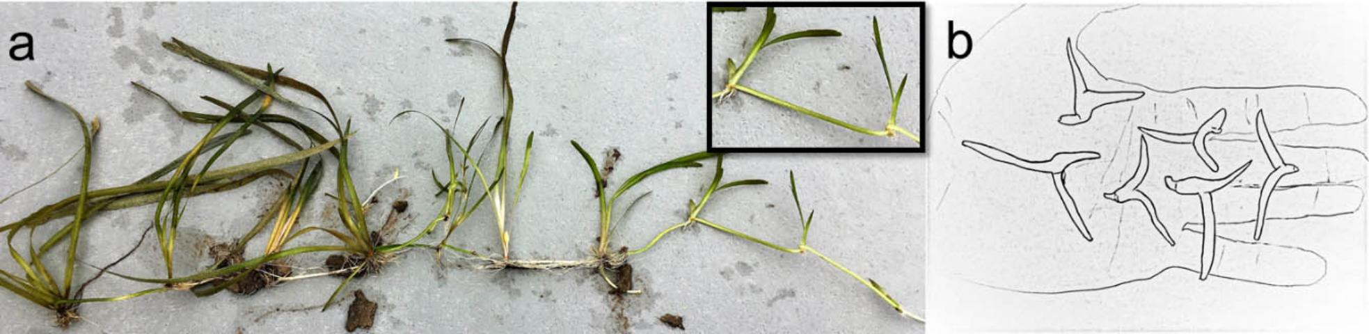 Figure 3. a) Tapegrass (Vallisneria americana) from the southern region can produce runners. b) Northern tapegrass can produce both runners and winter buds.