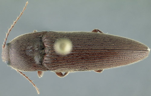 Figure 2. Adult Melanotus communis Gyllenhal. To give an idea of this beetle's size, the large circle in the photo is the head of a pin.