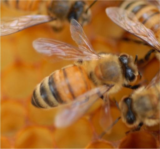Figure 2. Adult worker honey bee exhibiting K-wing. Note how the hind wing is disjointed from the forewing, causing the hind wing to stick out from the thorax at a 90° angle that gives the wings and body a distinctive