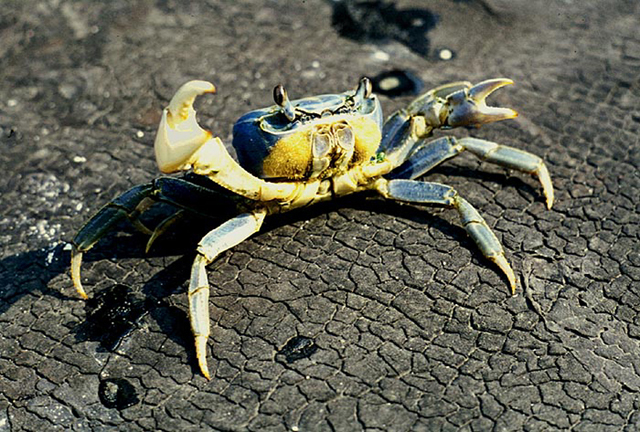 Figure 1.An adult Blue Land Crab. Compare photos of blue land crabs (Cardisoma guanhumi) and blue crabs (Callinectes sapidus) at http://marinefisheries.org/crabs.htm.