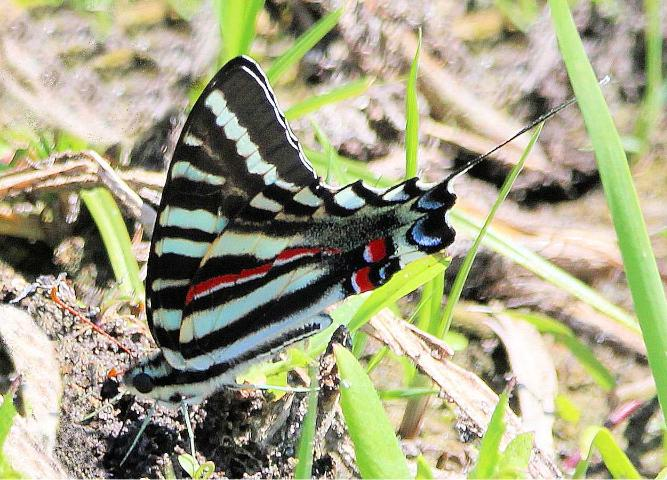 Figure 12. Male zebra swallowtail, Protographium marcellus (Cramer), feeding at moist sand for moisture and minerals.