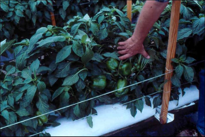 Figure 13.Pepper production in outdoor soilless culture.