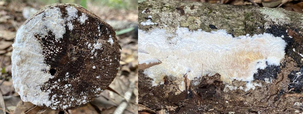 Figure 3. Fruiting bodies of Flavodon subulatus on a Florida oak log. The fruiting bodies are a white crust with a surface composed of irregular pores. The fruiting bodies can sometimes be observed on logs previously colonized by Ambrosiodmus minor.