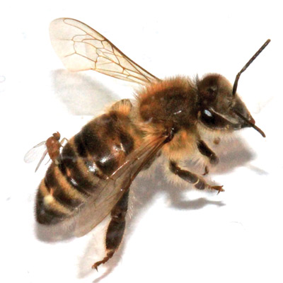 Figure 6. Adult female Apocephalus borealis ovipositing into the abdomen of a worker honey bee, Apis mellifera.