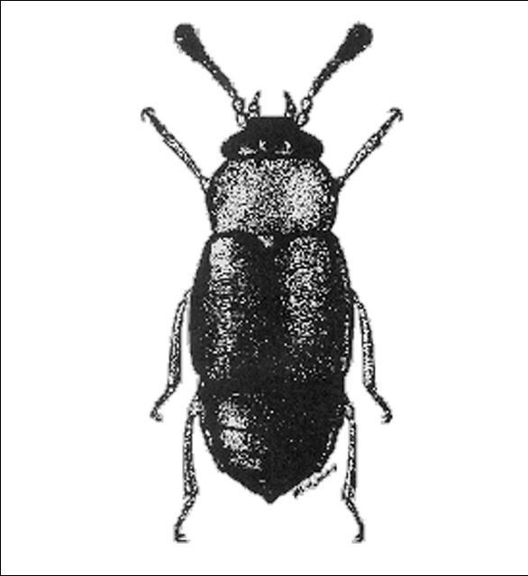 Figure 1.Proteinus thomasi Frank (Proteininae) 1.5 mm.