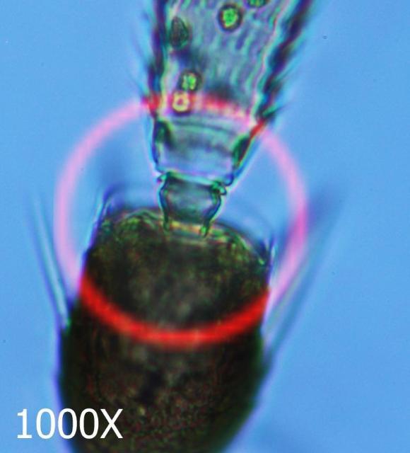 Figure 4.Western flower thrips antennal pedicel.