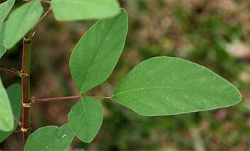 Figure 7. Desmodium heterocarpon. Note the acute leaf tip.