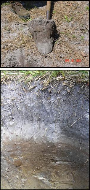 Figure 2.Typical soil pit profile collected in a bahiagrass pasture in South Florida. While the majority of the roots tend to concentrate in the top 4- to 8-inches depth, they can also occur at deeper soil depths. Soil carbon concentration is typically greater at the surface (4–6