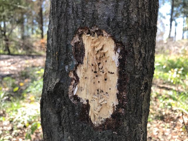 Figure 2. A typical cluster of galleries of Ambrosiodmus minor on a fire-stressed laurel oak in Florida, exposed by woodpeckers.