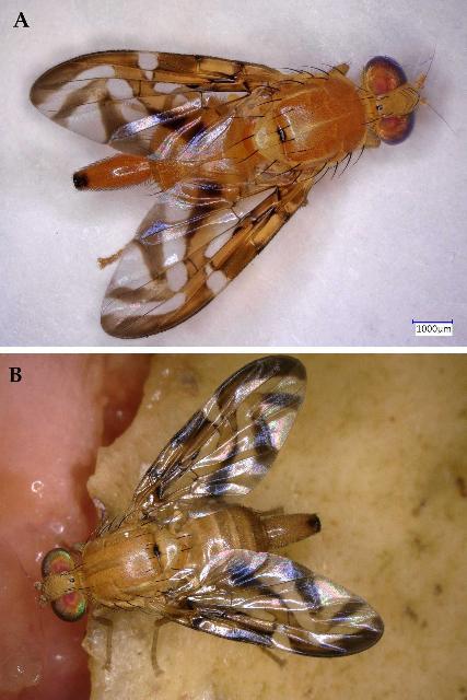 Figure 1.A) Adult female Caribbean fruit fly, Anastrepha suspensa. B) Adult female Caribbean fruit fly, Anastrepha suspensa feeding on a guava fruit.