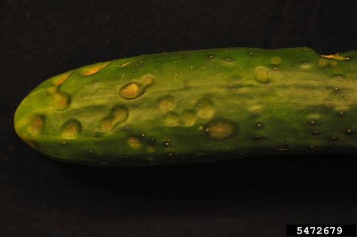 Figure 6. 'Straight Eight' cucumber plants with lesions caused by C. orbiculare infection at 14 days after inoculation.