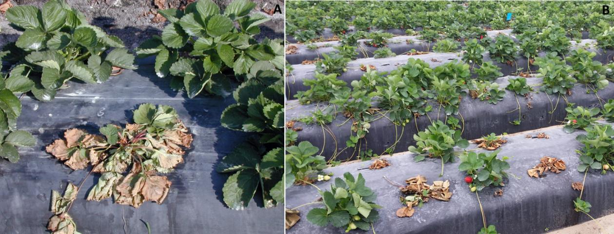 Figure 1. Strawberry plants wilting and collapsing due to Phytophthora crown rot.