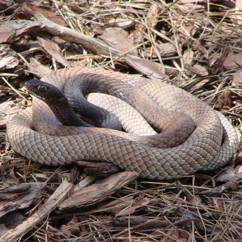 Figure 3. The eastern coachwhip (Coluber flagellum flagellum) is similar in appearance to the Florida pinesnake, but has a dark brown-black head and lacks obvious blotches.