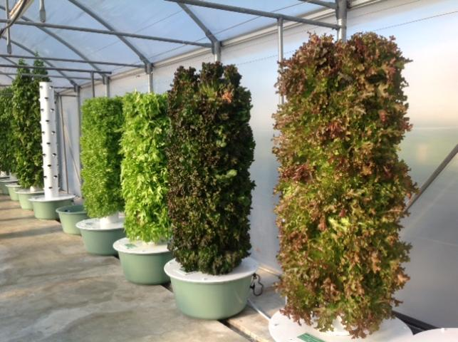 Figure 5.Vertical aeroponic towers of lettuces