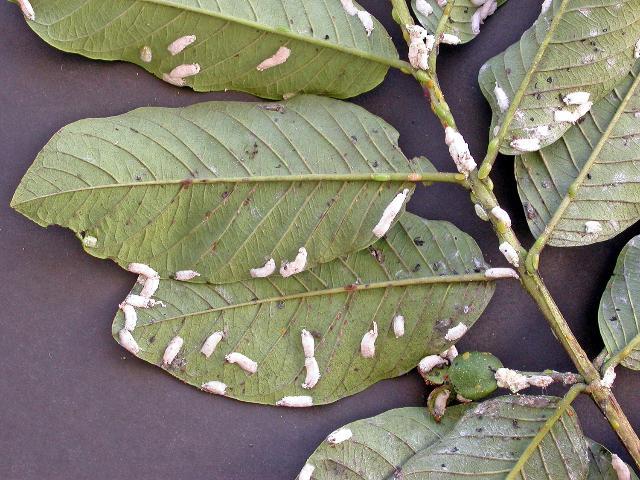 Figure 16.Philephedra tuberculosa scale on guava leaves and fruit.