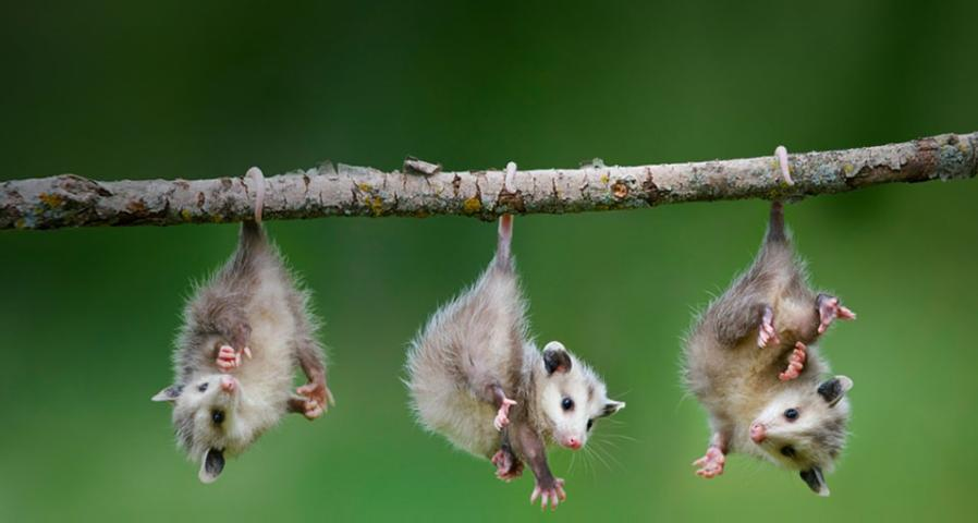 Figure 2.Juvenile opossums hanging out.