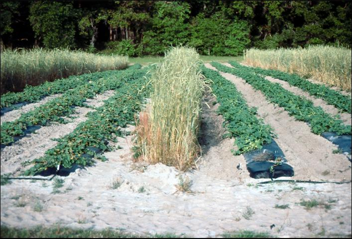 Figure 6.Frost damage of uncovered muskmelon (L), covered plants (R), Gainesville, Florida.