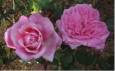 Figure 2. Mrs. B. R. Cant is a reliable old garden rose (OGR) for Florida.