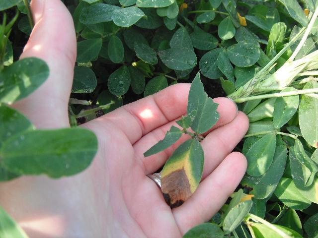 Figure 16.Peanut plants browsed by deer have jagged edges.