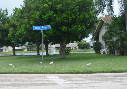 Figure 9. Ibis foraging for worms and other food in a Florida lawn.