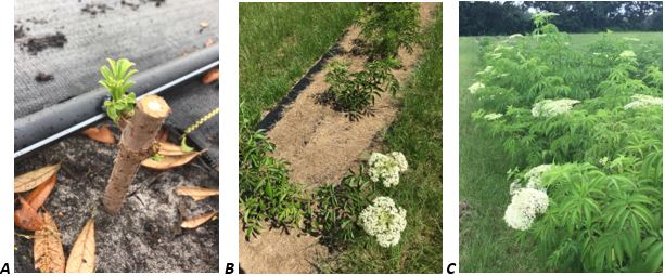 Figure 2. A: Elderberry hardwood cutting, B: Elderberry from cuttings at 4 months, C: Elderberry from cuttings at 14 months in ground.