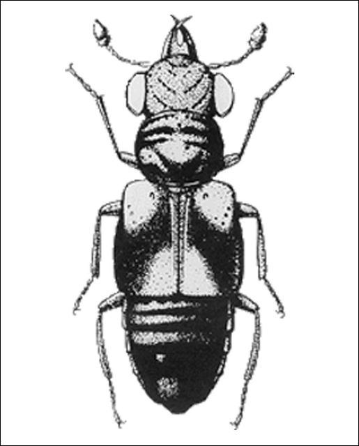 Figure 13.Megalopinus rufipes (LeConte) (Megalopsidiinae) 3.5 mm.