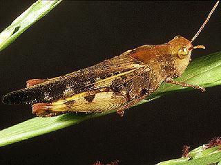 Figure 3.Southern greenstriped grasshopper, Chortophaga australior (Rehn & Hebard).