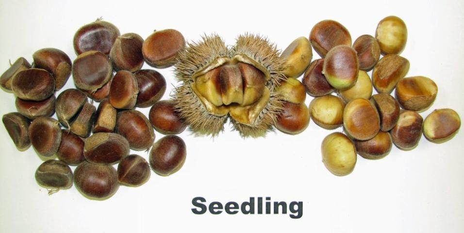 Figure 5.Burr (center), mature chestnuts (left) and immature chestnuts (right).