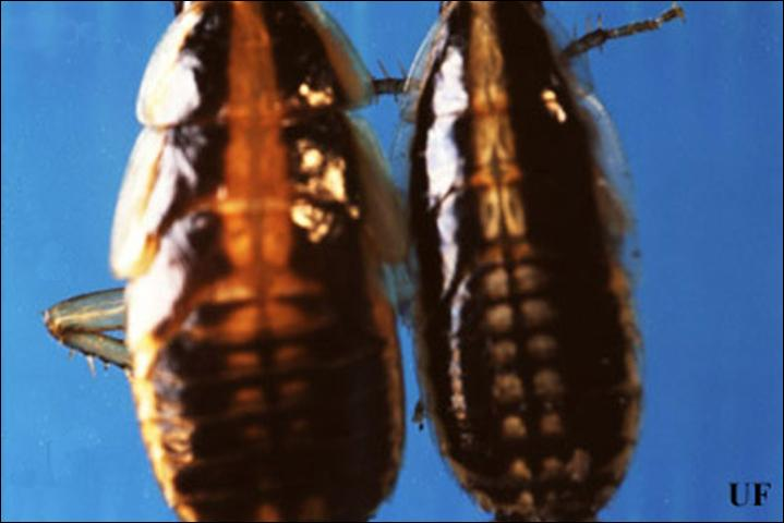 Figure 6.Late instar German (left), Blattella germanica (Linnaeus), and Asian (right), Blattella asahinai Mizukubo, cockroaches, dorsal view. Spots along the midsection of the Asian cockroach appear white, while those areas are lightly pigmented in the German cockroach. Asian cockroach nymphs are also smaller than German cockroach nymphs.