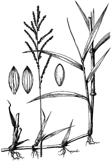 Figure 2. Artist's drawing of seeds, inflorescence, stem, leaves, and stolon of paragrass.