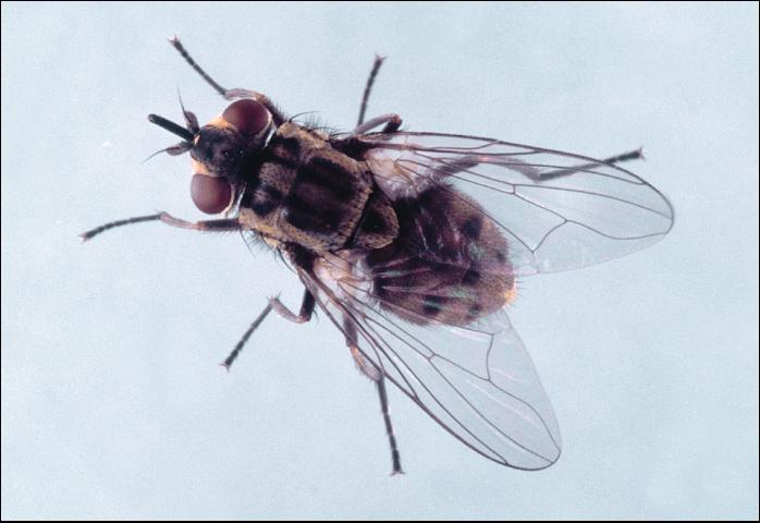 Figure 7. Stable fly.