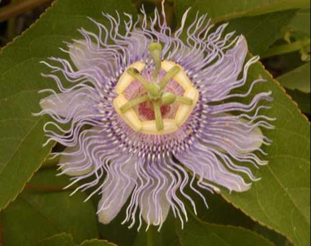 Figure 5. Purple passionflower, Passiflora incarnata L. (Passifloraceae), a host of the zebra longwing butterfly, Heliconius charithonia (Linneaus).